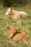 Brazoria County, Damon, Texas; newborn calves resting in the pasture on a partly sunny, spring morning