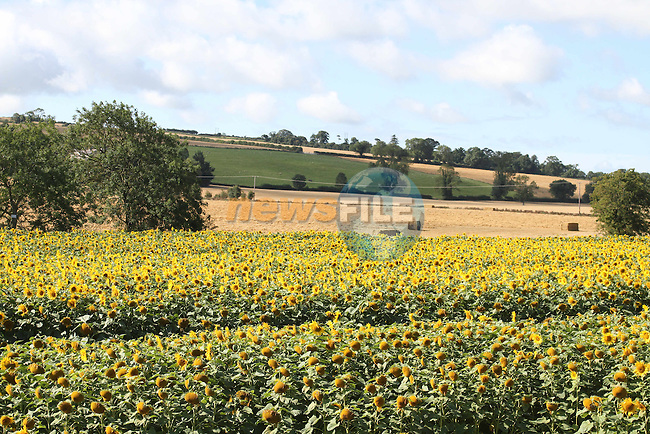 Field of Sunflowers on the Duleek to Julianstown Road, Co.Meath...Picture Jenny Matthews/Newsfile.ie