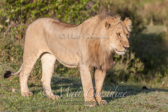 Young male lion standing in morning sun on short grass, Mara, Kenya, Africa (photo by Wildlife Photographer Matt Considine)