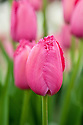 Tulip 'Burgundy Lace' (Fringed Group), mid May.