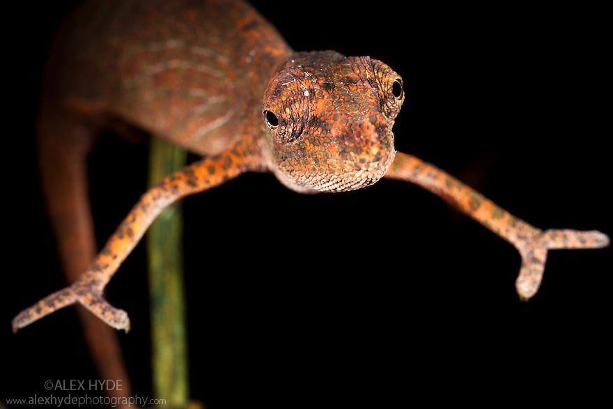 Nose-horned chameleon {Calumma / Chamaeleo nasutus} on branch at night, tropical rainforest. Masoala Peninsula National Park, north east Madagascar.
