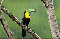 Wild Keel-billed Toucan (Ramphastos sulfuratus), also known as Sulfur-breasted Toucan or Rainbow-billed Toucan.  Found from southern Mexico south through Central America into northern South America.  These photos were taken in the rain in Costa Rican lowland rainforest.