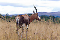 Blesbuck, Mlilwane, Swaziland