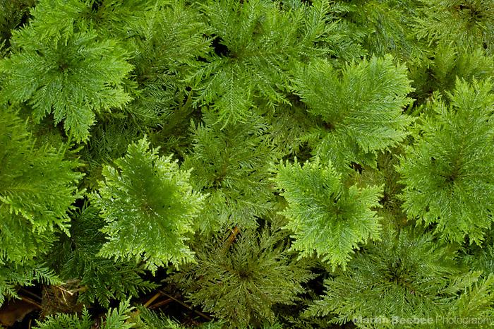 Umbrella moss (Hypnodendron sp.), Westland National Park, New Zealand