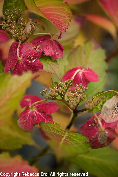 Hydrangea Lady Series 'Sita' showing autumn colour