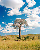 MADAGASCAR, Baobab Tree on a landscape, Isalo