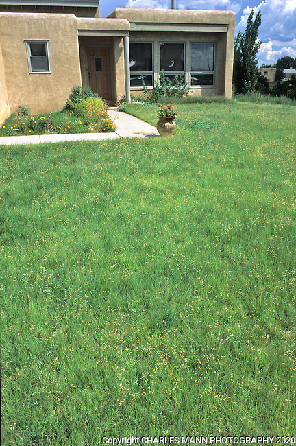 Buffalo grass, Buchloe dactyloides, makes an attractive and drought tolerant lawn alternative in this suburban Santa Fe xeriscape.