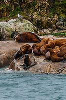 Sea lions on a rock in South Marble Island, Glacier Bay National Park, southeast Alaska USA.