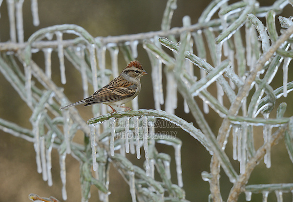 Chipping Sparrow (Spizella passerina), adult perched on icy branch of Christmas cholla (Cylindropuntia leptocaulis), Hill Country, Texas, USA