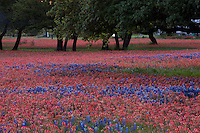 Springtime brings a colorful meadow of bright red Indian Paintbrush and deep blue Bluebonnets that grow among Texas Live Oak Trees in the Texas Hill Country.