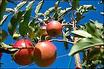 Pomme Antarès