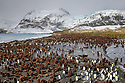 Colonies of King Penguins (Mirounga leonina) and Southern Elephant Seals (Mirounga leonina) on beach at Gold Harbour, South Georgia. November.
