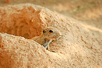 black-tailed prairie dog, Cynomys ludovicianus, young, looking out from its burrow, den, native to North America