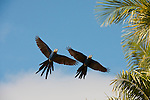 Two hyacinth macaws in flight in the Pantanal, Mato Grosso, Brazil.