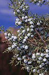 11371-CD Utah Juniper, Juniperus osteosperma, fruiting branch, at Sedona, Arizona