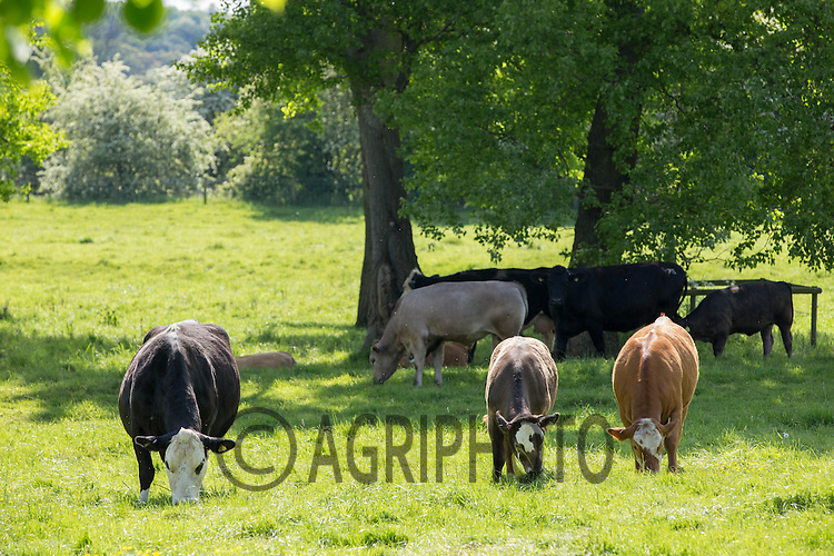 Crossbred beef cows and calves on grass<br /> Picture Tim Scrivener 07850 303986