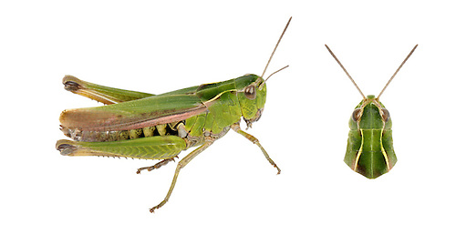 Common Green Grasshopper - Omocestis viridulus - female