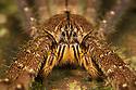 Huntsman Spider (Heteropoda sp.), Danum Valley, Sabah, Borneo. June.