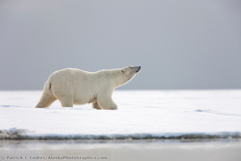 Adult female polar bear stands and sniffs the air on a snowy island along the shores of the Beaufort sea, Arctic, Alaska.