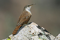 Canyon Wren - Catherpes mexicanus