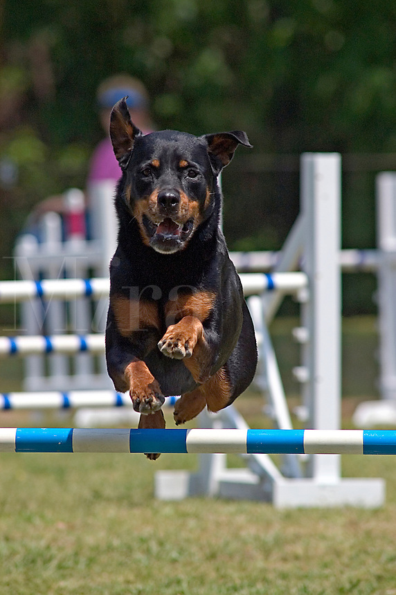 Rottweiler jumping during an agility competition in Gloucester, VA