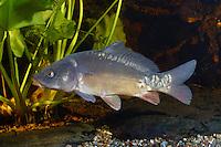 Karpfen, Zuchtform Spiegelkarpfen (Cyprinus carpio morpha noblis), Cyprinus carpio, Common carp