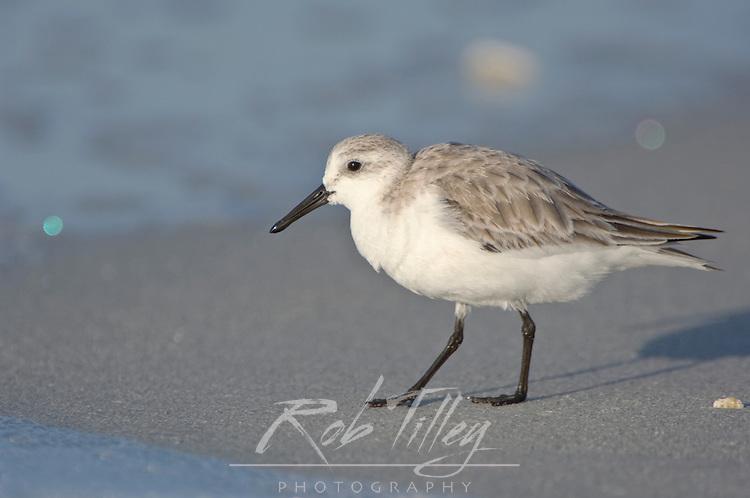 USA, FL, Sanibel, Sanderling on Beach