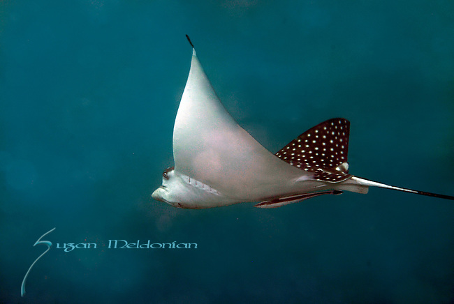 Spotted Eagle Ray sailing by with Ramora, Aetobatus narinari  full animal