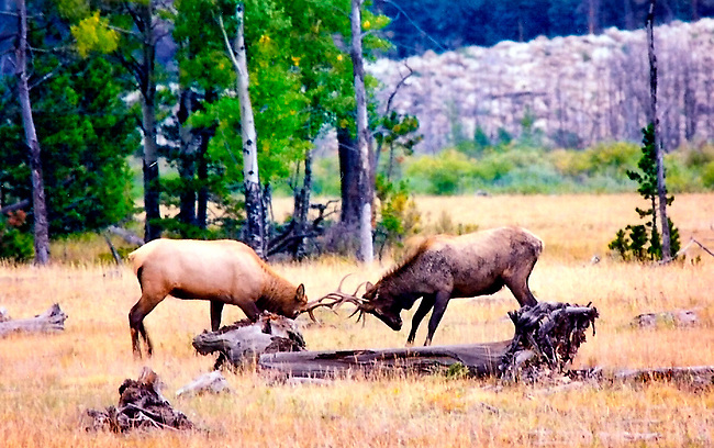 Two bull elk in autumn rut in Rocky Mountain National Park, Colorado
