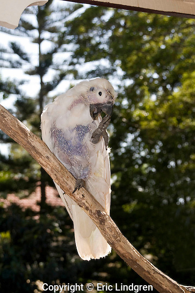 Psittacine Beak & Feather Disease in wild Sulphur-crested Cockatoos is caused by a virus transmitted by inhalation, or by direct contact with infected surfaces.  PBFD is found mainly in parrots and cockatoos, but all psittacine species may be susceptible to infection. It destroys the feather follicle, causing deformation of new growing feathers. Ultimately the follicle is destroyed, feathers are unable to form, and as the bird cannot fly death is inevitable in the wild. The beak may be deformed, as in this bird where it is laminated and elongated due to incorrect growth, and feeding is inhibited.  //  Sulphur-crested Cockatoo - Psittacidae: Cacatua galerita; Length to 65cm, wingspan to 105cm;  widely distributed in northern and eastern Australian woodlands, urban and suburban areas , New Guinea west to Indonesia (uncommon). May be a pest species in grain-growing areas.  //
