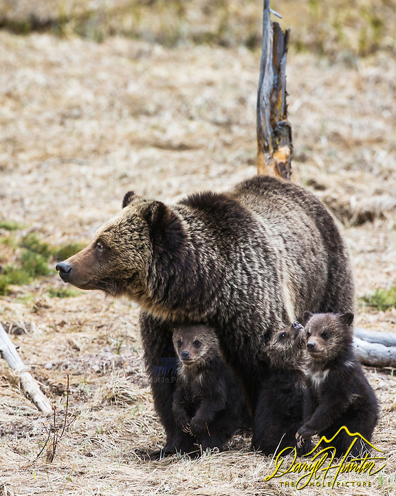 Grizzly Bear sow and cubs, family portrait. Yellowstone National Park.