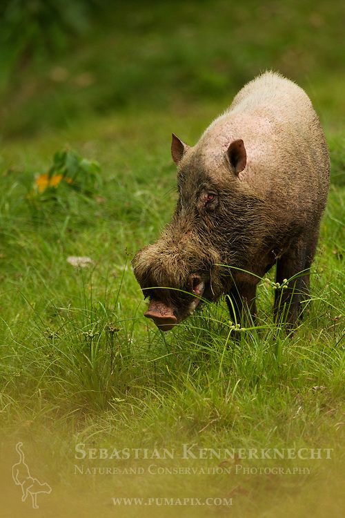 Bornean Bearded Pig (Sus barbatus) male, Danum Valley Conservation Area, Sabah, Borneo, Malaysia