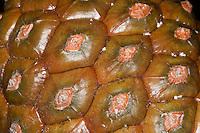 Pinie, Schirmkiefer, Zapfen, Pinienzapfen, Schirm-Kiefer, Kiefer, Pinus pinea, Stone Pine, Umbrella Pine