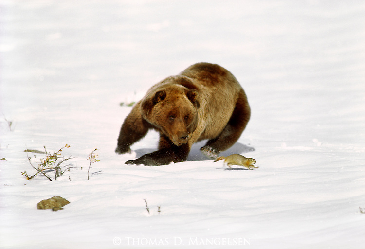 A grizzly bear runs to catch a ground squirrel in the autumn snow in Denali National Park, Alaska.