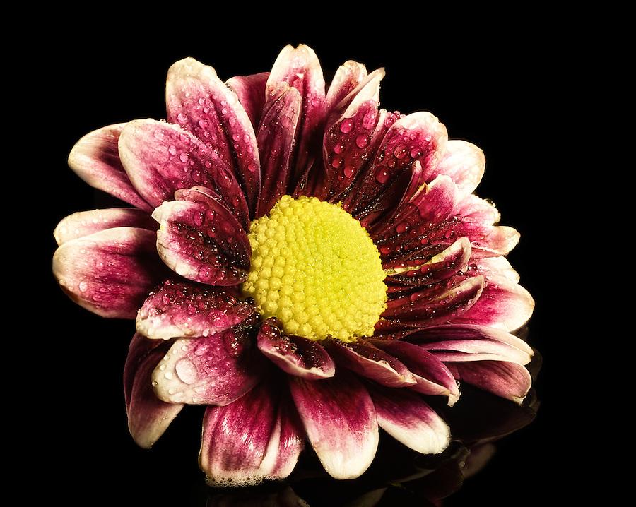 beautiful daisy, black plexiglass, water drops,