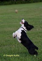 SH25-605z English Springer Spaniel playing catch ball