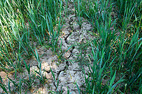 Cracks in the soil, winter wheat - Lincolnshire, May