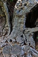 Europe/Provence-Alpes-Côte d'Azur/83/Var/Massif des Maures/Collobrières: Les Châtaigniers multi centenaires  + de 400 ans de Laurent Jartoux , castanéiculteur  Châtaigneraie Godissard