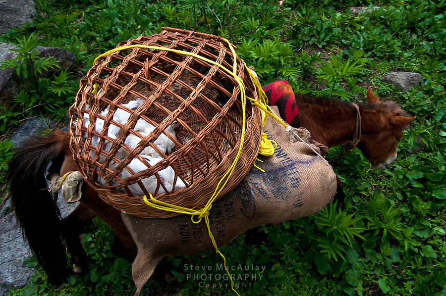Wicker basket with live chickens for the trekking kitchen, Gangabal Lake region of Kashmiri Himalayas, India.
