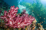 Soft coral, Dendronephthya sp., grows in the shallows under the mangroves, Raja Ampat, West Papua, Indonesia, Pacific Ocean