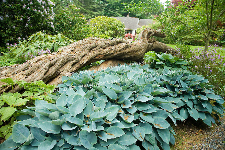 Hostas form mounds of blue-green foliage in this border along a path at the Dunn Gardens, a former private estate near Seattle now run as a woodland botanical garden and available for touring by appointment and fee.