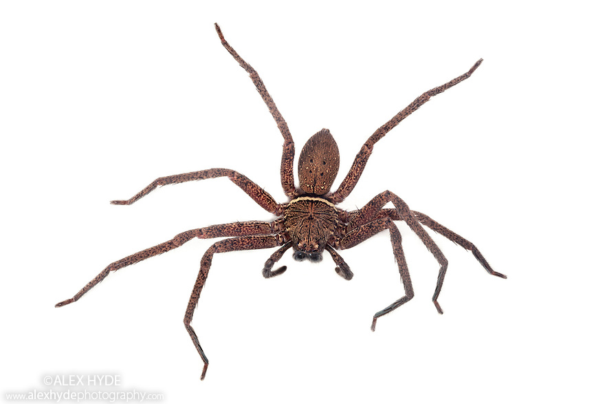Huntsman Spider {Sparassidae}photographed on a white background in mobile field studio in tropical rainforest. Danum Valley, Sabah, Borneo, Malaysia.