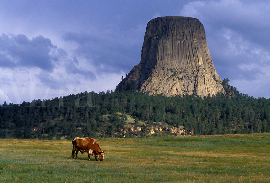 Devils Tower National Monument, WY, Wyoming, A long horn bull grazes in a field below Devils Tower at Devils Tower Nat'l Monument in Wyoming.