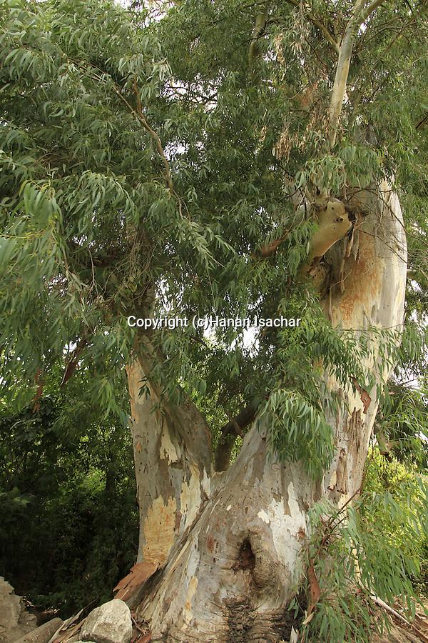 Israel, Menashe Heights, Eucalyptus tree in Nahal Shelef