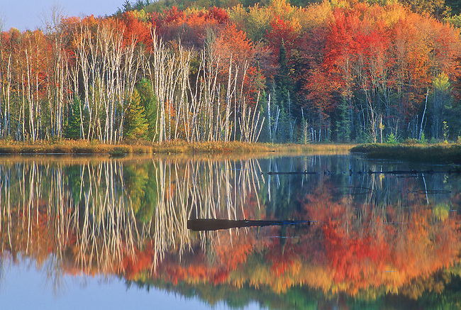 Birch tree trunks pop out of a fall colors forest background on the shore of Council lake in Michigan's Upper Peninsula's Hiawathwa National Forest, in Alger County, Michigan.