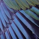Kea feathers, new zealand