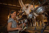 France, Aude (11), Ferrals-les-Corbières, Chèvrerie la Balnautière , Ana Pinson trait les chèvres// France, Aude, Ferrals les Corbieres, Chevrerie la Balnautiere, Ana Pinson milked the goats