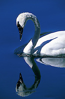 Trumpeter Swan, Madison River, Yellowstone National Park, Wyoming.
