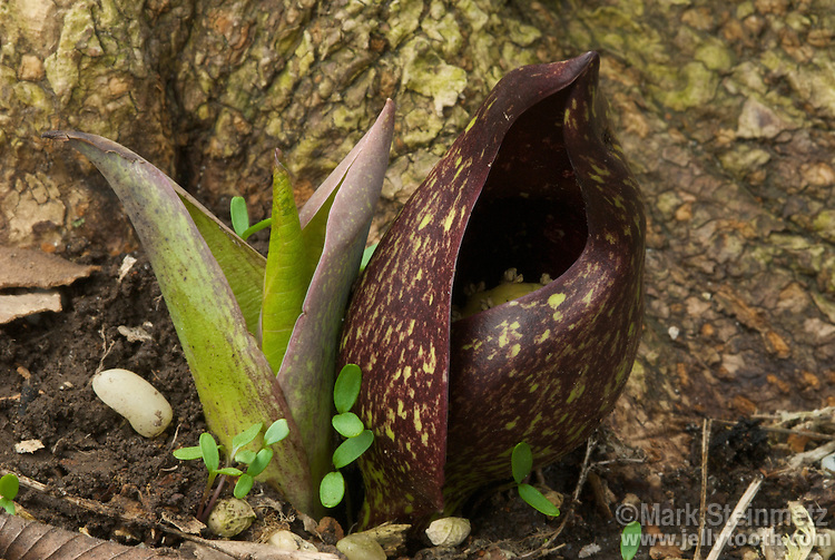 Skunk Cabbage (Symplocarpus foetidus) with its brownish-purple and green flower, and emerging new foliage. This species is native to eastern North America. So named because the flower gives off a fetid, foul smelling odor, similar to decaying flesh, which attracts insects that pollinate the flower. Found in wetlands and wet woods, one of the first flowers to bloom in early spring. Franklin County, Ohio, USA.