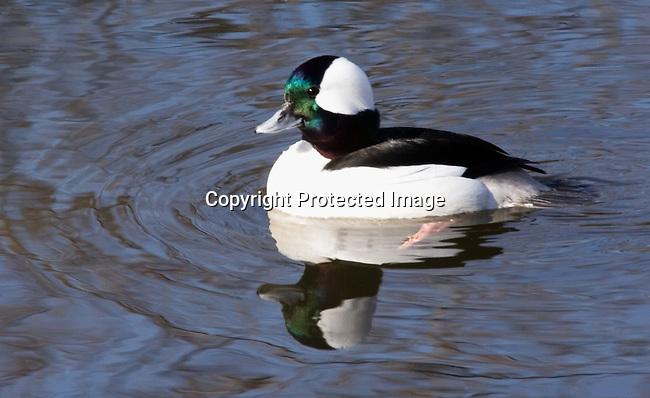 Duck, Bufflehead Drake